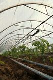 Tomato cultivating in green house Stock Photography