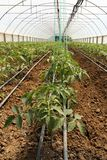 Tomato cultivating in green house Stock Photos
