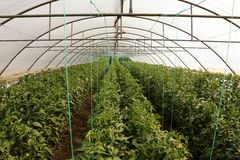 Tomato cultivating in green house Stock Image