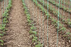 Tomato cultivating in green house Stock Photo