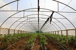Tomato cultivating in green house Stock Images
