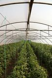 Tomato cultivating in green house Royalty Free Stock Images