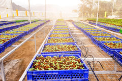 Tomato cultivation Stock Photos