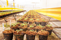 Tomato cultivation Royalty Free Stock Photo