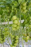 Tomato cultivation in a greenhouse Stock Photo