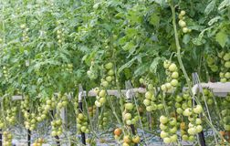 Tomato cultivation in a greenhouse Royalty Free Stock Photo