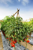 Tomato cultivation Royalty Free Stock Images