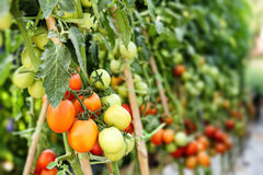 Tomato cultivation Stock Image