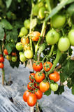 Tomato cultivation Royalty Free Stock Image