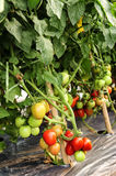 Tomato cultivation Royalty Free Stock Photography