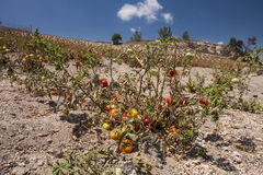A tomato culture in arid soil on Santorini Royalty Free Stock Photo