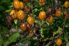 Tomato disease - late blight. Tomato fungal disease - late blight (Phytophthora infestans). Brown rotting outdoor tomatoes in a garden Royalty Free Stock Images