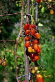 Tomato disease - late blight. Tomato fungal disease - late blight (Phytophthora infestans). Brown rotting outdoor tomatoes in a garden Stock Image