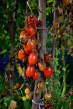 Tomato disease - late blight. Tomato fungal disease - late blight (Phytophthora infestans). Brown rotting outdoor tomatoes in a garden Royalty Free Stock Image