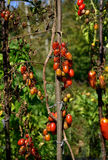 Tomato disease - late blight. Tomato fungal disease - late blight (Phytophthora infestans). Brown rotting outdoor tomatoes in a garden. Copy space Stock Image