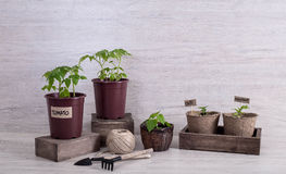 Tomato, eggplant and chilli sprouts in cups and garden tools on Royalty Free Stock Images