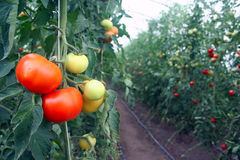 Tomato farm. Under plastic roof Royalty Free Stock Images