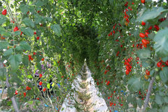 Tomato farm in the early morning Royalty Free Stock Photo