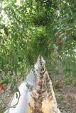 Tomato farm Stock Photos