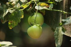 Green Tomato royalty free stock photography
