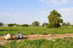 Tomato farm in Jordan Stock Photography