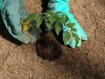 Tomato fertilizer. Garden work: putting fertilizer to tomato plant stock photo
