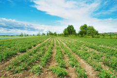 Tomato field Royalty Free Stock Photos