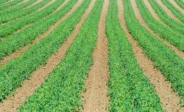 Tomato field Stock Image