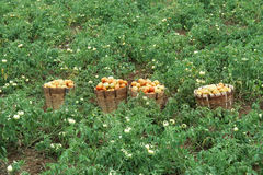 Tomato field. Bunch of tomatos on baskets in tomato field Royalty Free Stock Photo