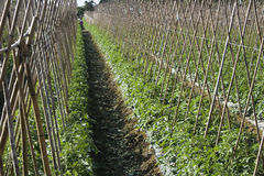 Tomato field. Rows of bamboo canes support young tomato plants.  This is rich agricultural land and is used for intensive farming Royalty Free Stock Photo