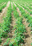 Tomato field on bright  day Royalty Free Stock Images