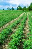 Tomato field on bright day. Tomato field on bright summer day Royalty Free Stock Image