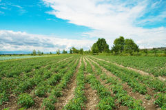Tomato field on bright  day Royalty Free Stock Photography