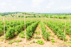Tomato field stock images