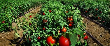 Tomato field ready for harvest. Modern irrigation system stock photos