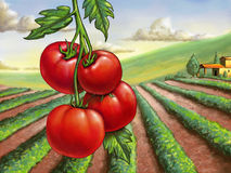 Tomato field Royalty Free Stock Photo