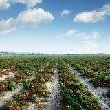 Tomato field on summer day Stock Photos