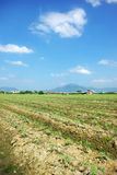 Tomato fields. Tomatoes plants in a biological field Royalty Free Stock Photography