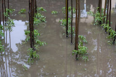 Tomato flood. Tomato plant flood after a heavy rain royalty free stock images