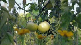 Tomato flower bed at sunset. Yellow tomatoes with support rods. stock video