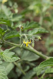 Tomato flower. Closeup on the vine Royalty Free Stock Image