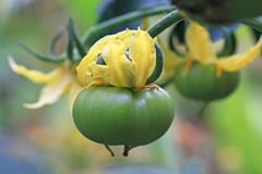 Tomato and flower Royalty Free Stock Images