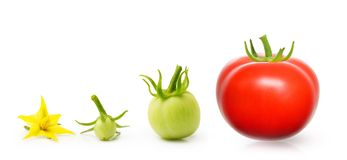Tomato from flower isolated Royalty Free Stock Images