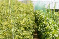 Tomato flower Royalty Free Stock Photos