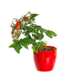 Tomato in a flowerpot Royalty Free Stock Images