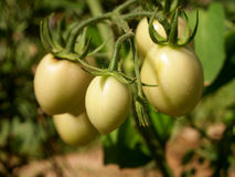 Tomato. Fresh green tomato with tree background Stock Photos