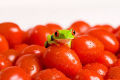 Tomato Frog. A cute little green, red eyed tree frog sitting on a pile of garden fresh cherry tomatoes with tiny droplets of water Stock Images