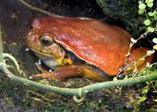 Tomato Frog 2 Royalty Free Stock Photo
