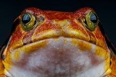 Tomato frog Stock Photo