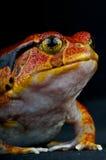 Tomato frog Stock Image